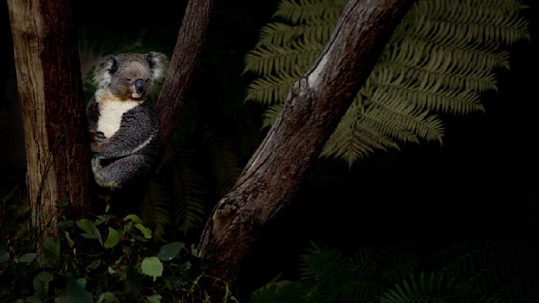 koala_australia_2