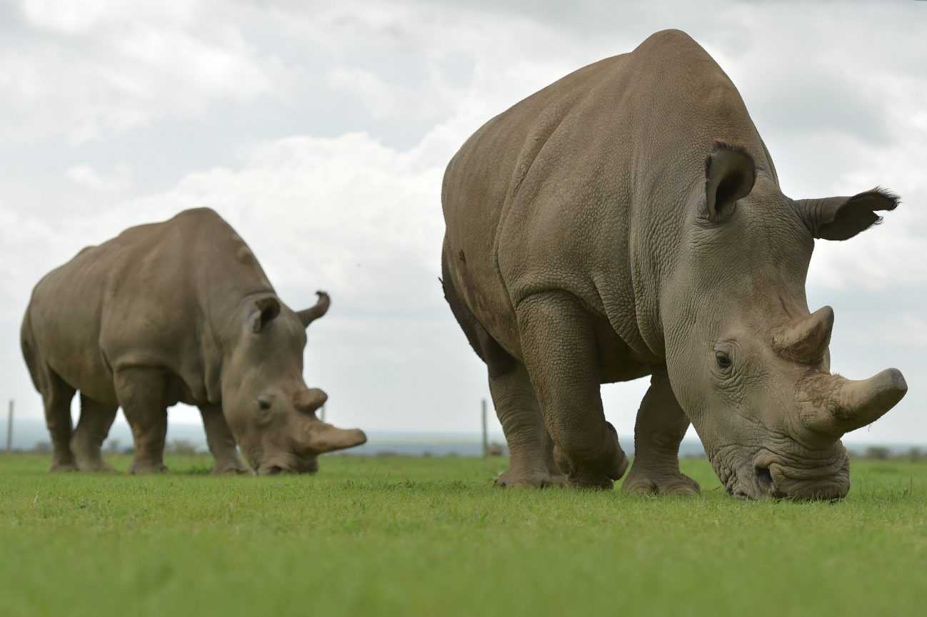 Najin (R) and Fatu, the only two remaining female northern white rhino, graze in her paddock on March 20, 2018 at the ol-Pejeta conservancy in Nanyuki, north of capital Nairobi. Sudan, the last male northern white rhino, has died in Kenya at the age of 45, after becoming a symbol of efforts to save his subspecies from extinction, a fate that only science can now prevent. / AFP PHOTO / TONY KARUMBA (Photo credit should read TONY KARUMBA/AFP via Getty Images)