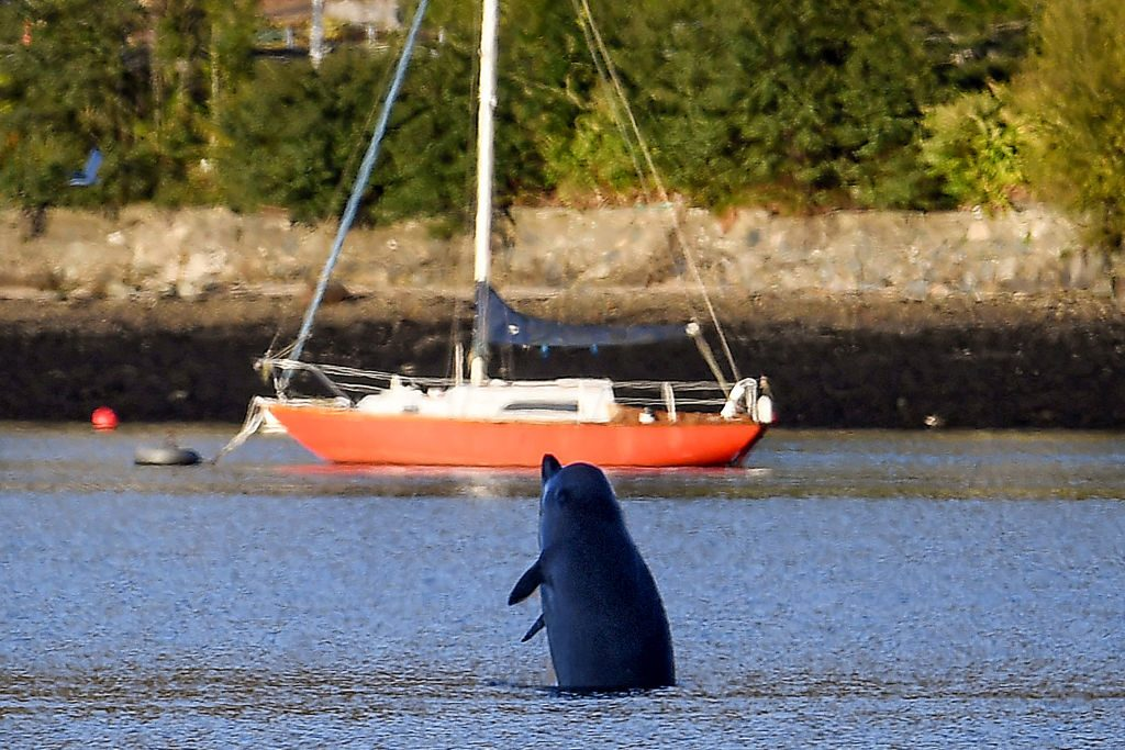 GARELOCHEAD, SCOTLAND - OCTOBER 01: A Northern Bottlenose whale breaches after boats attempted to herd them from the Gare Loch into the open sea ahead of a military exercise starting in the region on October 1, 2020 in Garelochhead, Argyll and Bute. Three northern bottlenose whales have been stuck in Gare Loch near Faslane Naval Base, apparently unable to find their way back to the North Atlantic. (Photo by Jeff J Mitchell/Getty Images)