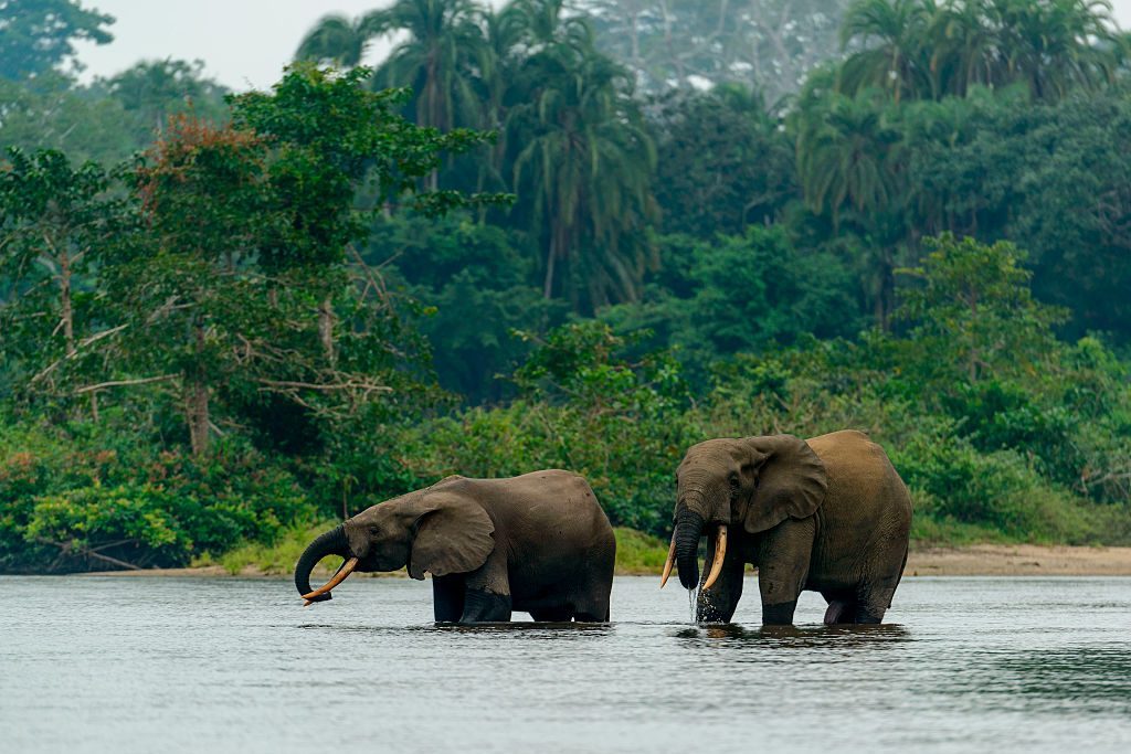 African forest elephant (Loxodonta cyclotis) in Lekoli River, Odzala-Kokoua National Park, Cuvette-Ouest Region, Republic of the Congo. (Photo by: Education Images/Universal Images Group via Getty Images)
